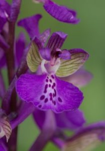 review Matthias Svojtka of The lfower of the European orchid - Form and function