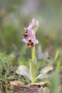 reviews Henrik Æ. Pedersen of The lfower of the European orchid - Form and function