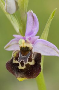 review Simon Tarrant of The lfower of the European orchid - Form and function