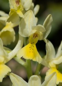 review Bertrand Schatz of The flower of the European orchid - Form and function