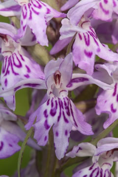 Order The flower of the European orchid - Form and function